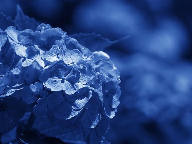 雨に恋する紫陽花