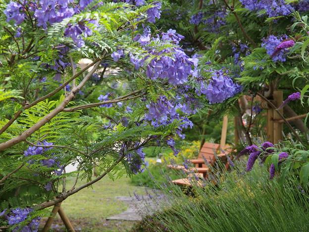 ジャカランダ咲く緑地