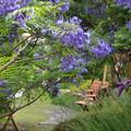 Photos: ジャカランダ咲く緑地