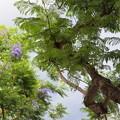 ジャカランダ咲く樹