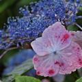 恋する紫陽花