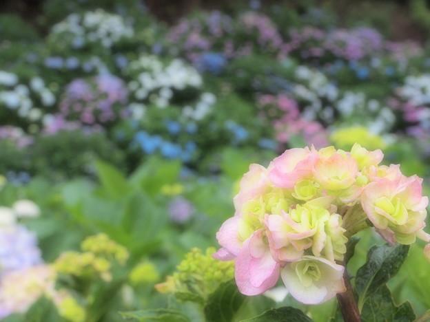 夢見る紫陽花
