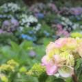 Photos: 夢見る紫陽花