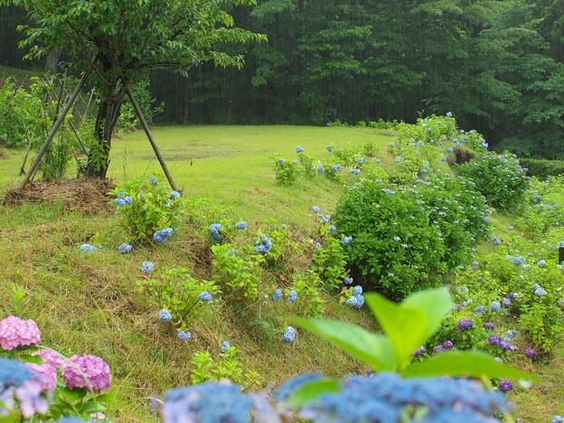 Photos: 雨の中の紫陽花
