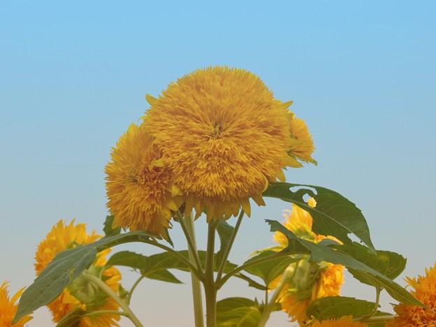 Photos: 夏空の下の向日葵たち