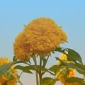 夏空の下の向日葵たち