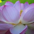 八木沢に咲く