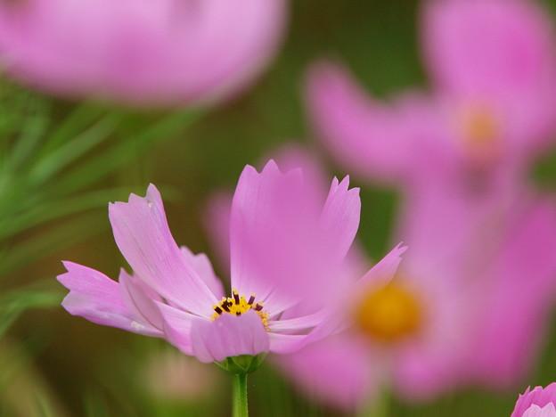 コスモスが咲いていた…♪