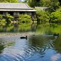 カモさんも泳ぐ小浜池