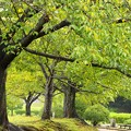 Photos: 秋雨滴る桜並木