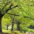 秋雨滴る桜並木