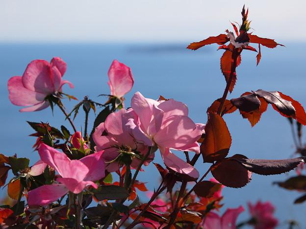 海辺の秋薔薇