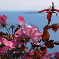 Photos: 海辺の秋薔薇