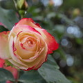 凛として、秋薔薇
