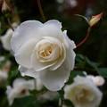 晩秋の純白