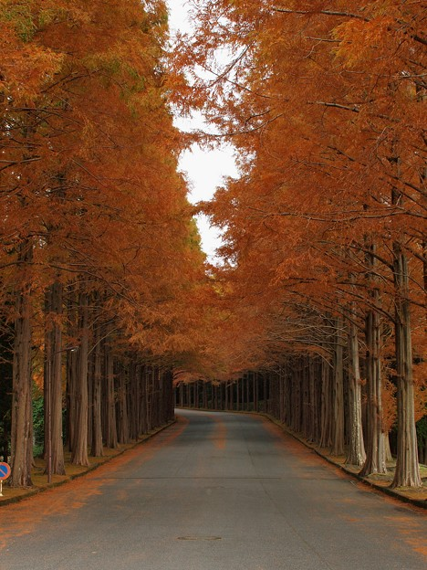 晩秋のメタセコイア並木(壱)