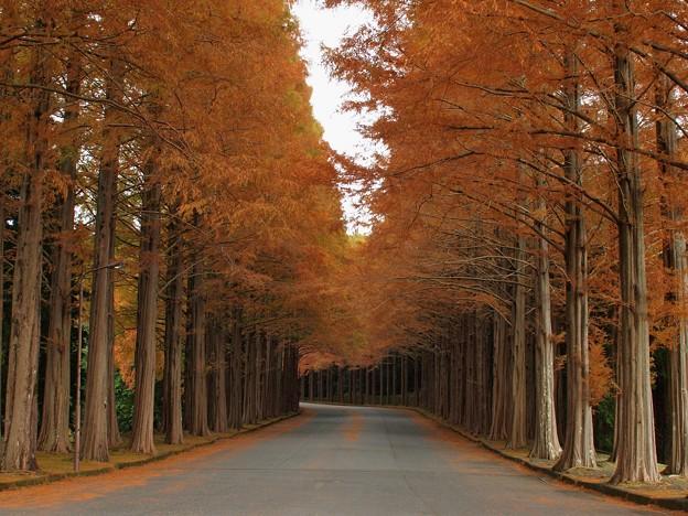 晩秋のメタセコイア並木(弐)