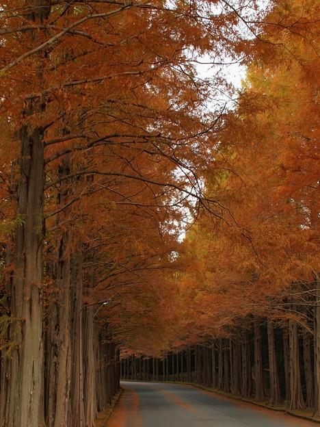 晩秋のメタセコイア並木(参)