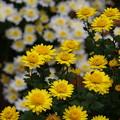 小菊の黄色い声援