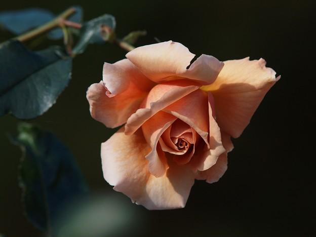 クリスマスイブには薔薇の花を -a