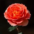 Photos: クリスマスイブには薔薇の花を -b