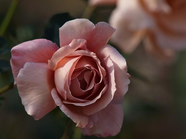 Photos: クリスマスイブには薔薇の花を -c