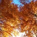 秋色メタセコイアと晩秋の青空