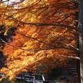 メタセコイア並木の小径