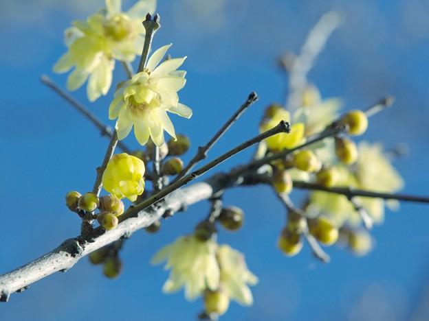 新春の蝋梅~青空と共に