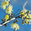 Photos: 新春の蝋梅~青空と共に