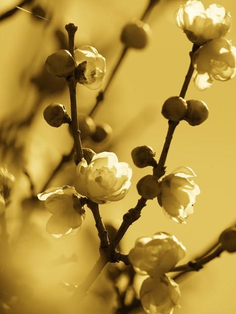 Photos: 新春の蝋梅~カスタムセピア調