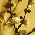 新春の蝋梅~カスタムセピア調