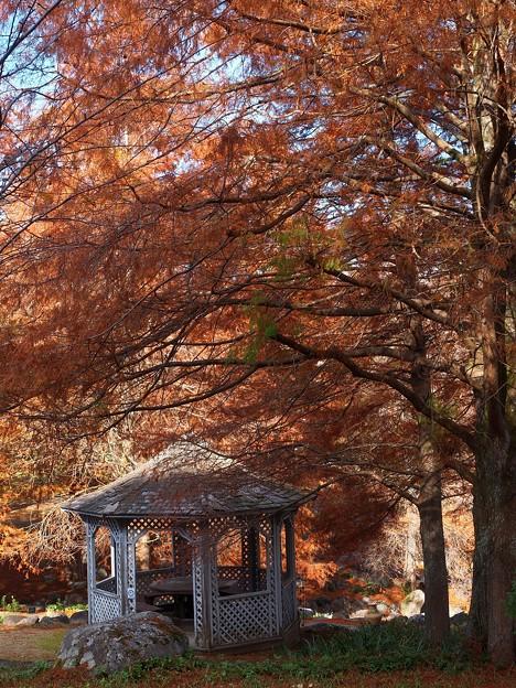 秋色に染まったメタセコイア