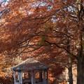 Photos: 秋色に染まったメタセコイア