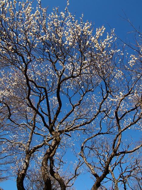 季節は巡り梅花咲く