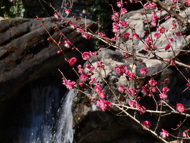 水辺の梅花