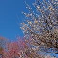 春の青空~白梅・紅梅と