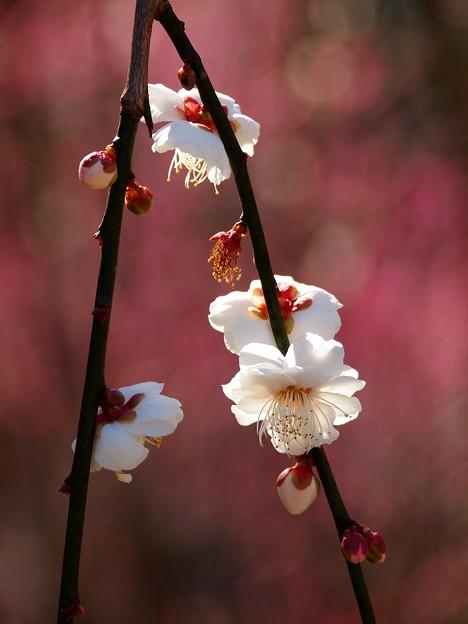 燃ゆる立春、白梅と共に