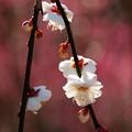 Photos: 燃ゆる立春、白梅と共に