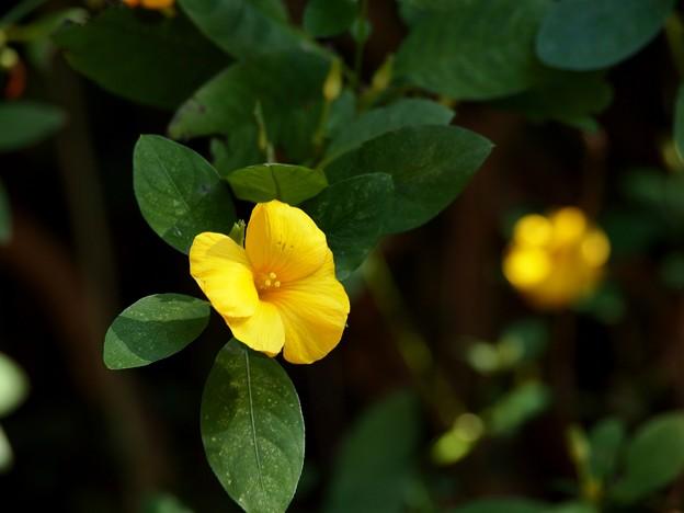 コロナ渦の黄花亜麻