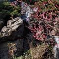 紅梅と三段の滝