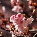 熱海桜も咲いて