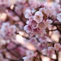 しっとり熱海桜色