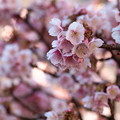 Photos: しっとり熱海桜色