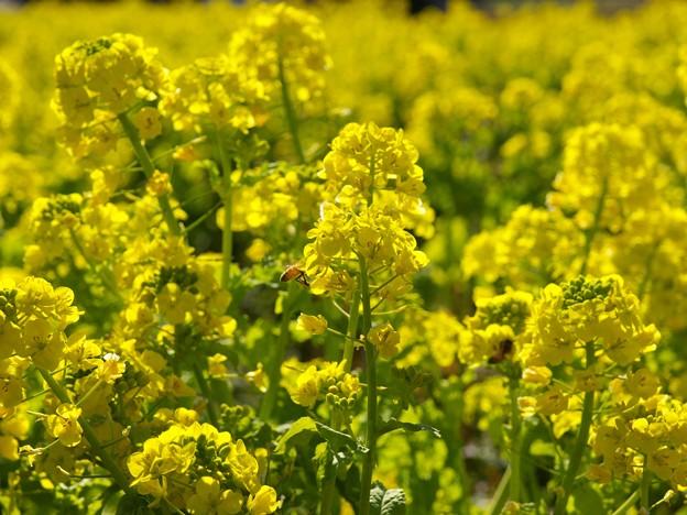 春の香り~菜の花畑 2021-a