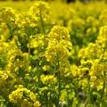 Photos: 春の香り~菜の花畑 2021-a