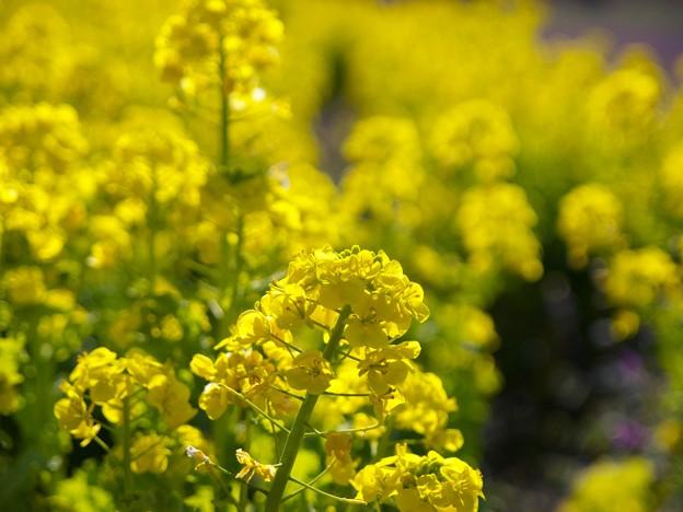 春の香り~菜の花畑 2021-b