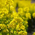 Photos: 春の香り~菜の花畑 2021-b