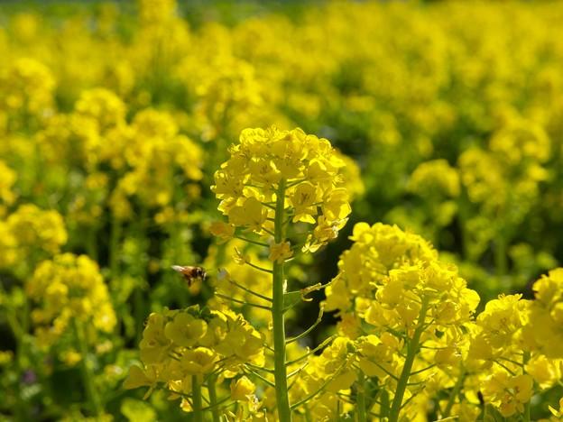 春の香り~菜の花畑 2021-c