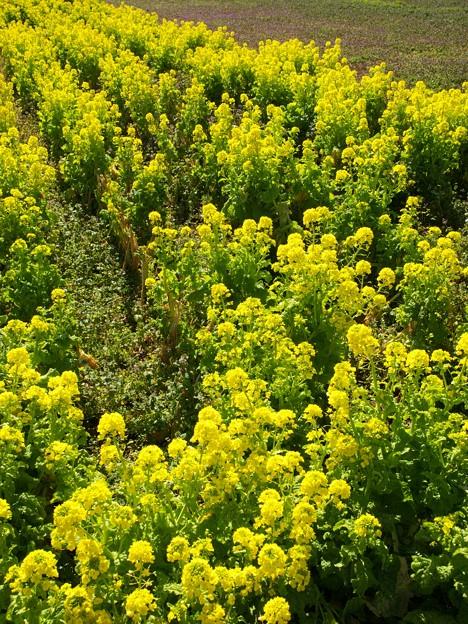 春の香り~菜の花畑 2021-d